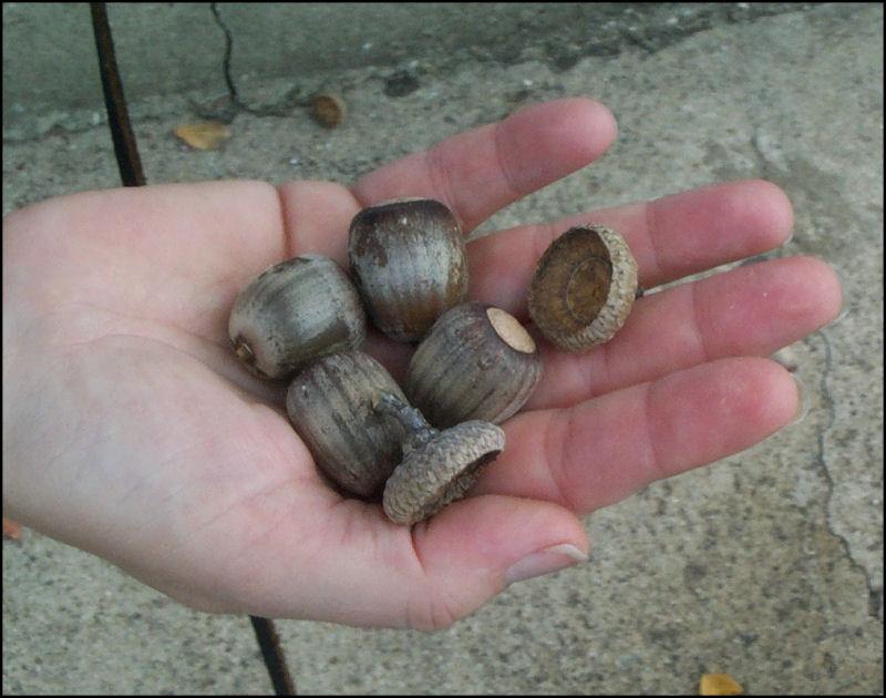 acorns_hand022