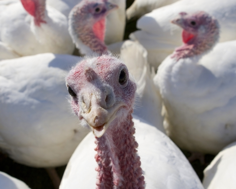 thanksgiving-turkey-static-image